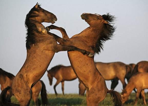 Caii din pădurea Letea vor fi adoptaţi de ţiganii care au camere libere