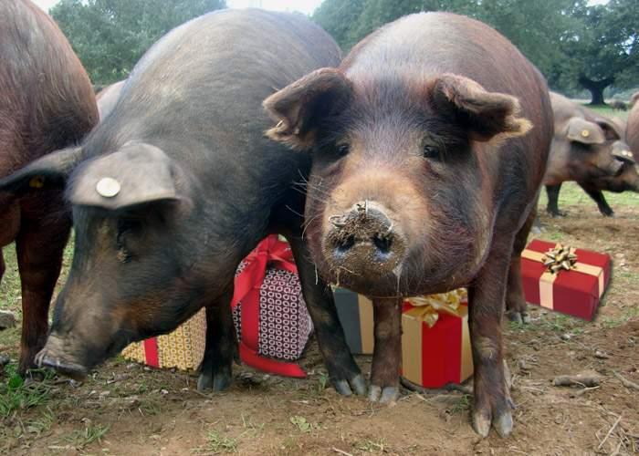 Tot mai mulţi români pun cadourile de Crăciun sub porc, nu sub brad!