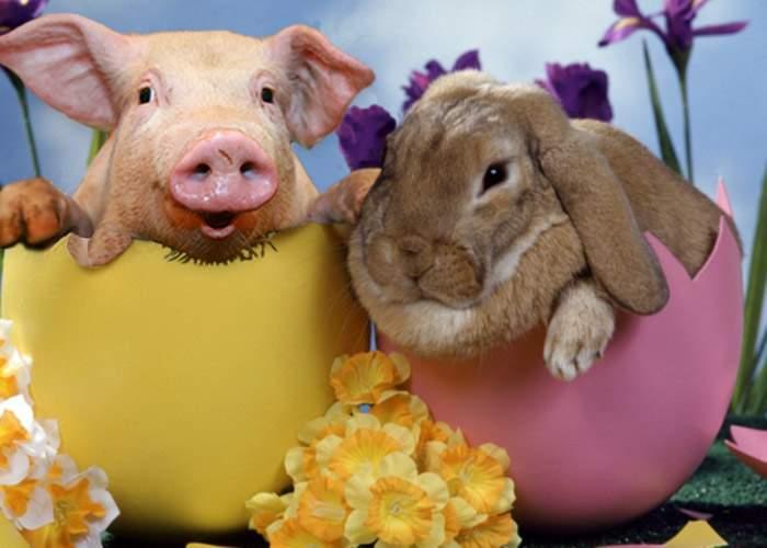 Atenţie ce cumpăraţi în pieţe! Escrocii vând porc pe post de iepuraş de Paşti!