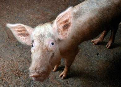 Locuitorii unui sat moldovean, convinşi că porcul este un animal pe cale de dispariţie