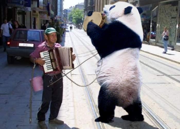 Un ţigan ursar s-a apucat să joace ursul panda!