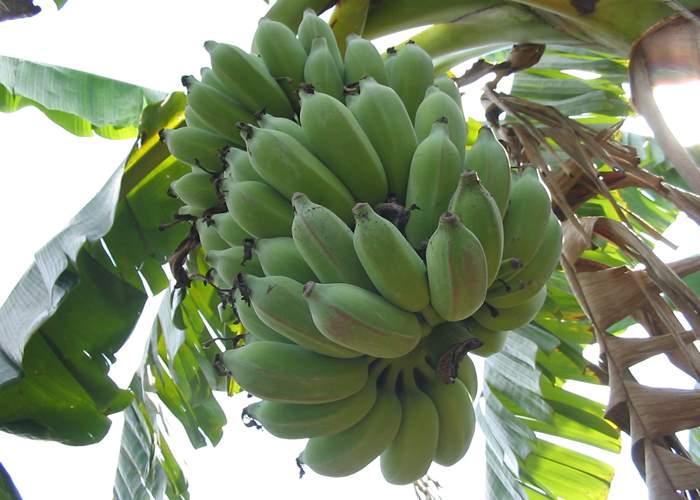 Canicula, mană cerească pentru ţăranii care au pus banane şi kiwi