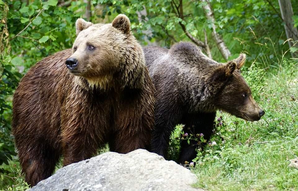 15 sfaturi în caz că eşti atacat de urs