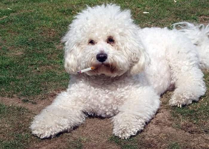 Un român şi-a învăţat câinele să fumeze şi acum trebuie să strângă şi chiştoacele după el