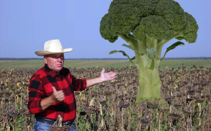 Un legumicultor imbecil a creat un broccoli imens, înalt de 4 metri