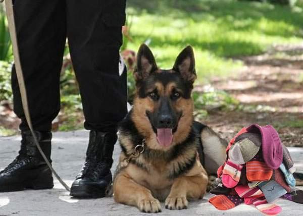 Prețul câinilor anti-drog a explodat după ce s-a aflat că aceștia găsesc și ciorapii desperecheați prin casă