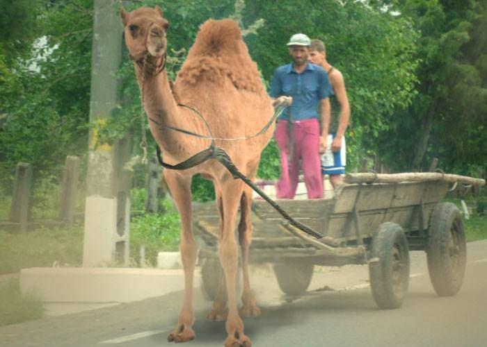 Efectele caniculei! Tot mai mulți țărani români pun cămile în loc de cai la căruțe