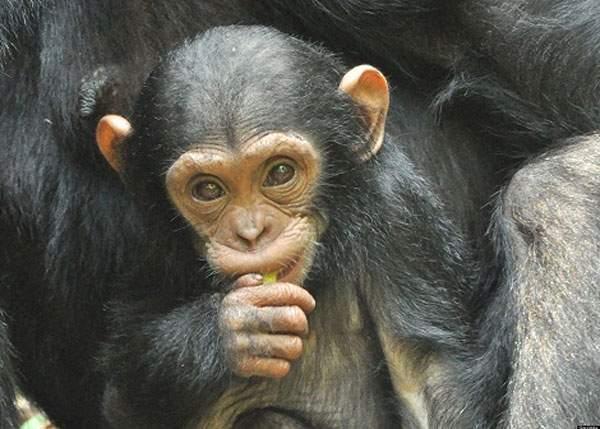 Studiu. Maimuţele cred în creaţionism, pentru că refuză să creadă că din ele au ieşit români