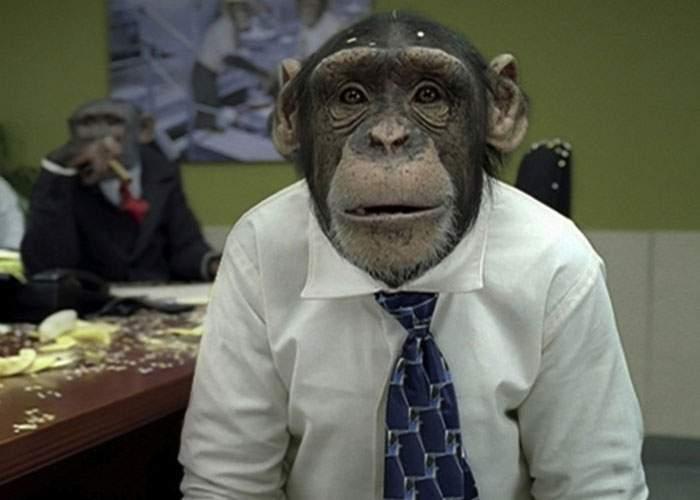 Cimpanzeul Cici spune că va candida la președinție dacă Zoo Băneasa i-o cere