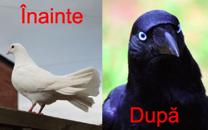 Poluare alarmantă. 90% din ciorile din Bucureşti sunt de fapt porumbei albi