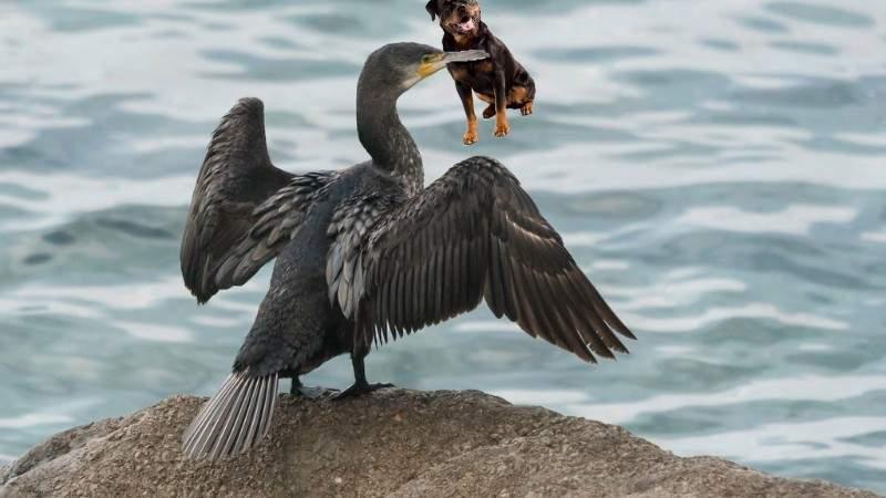 Care chihuahua luat de pescăruş? La Tulcea un rottweiler a fost răpit de un cormoran!