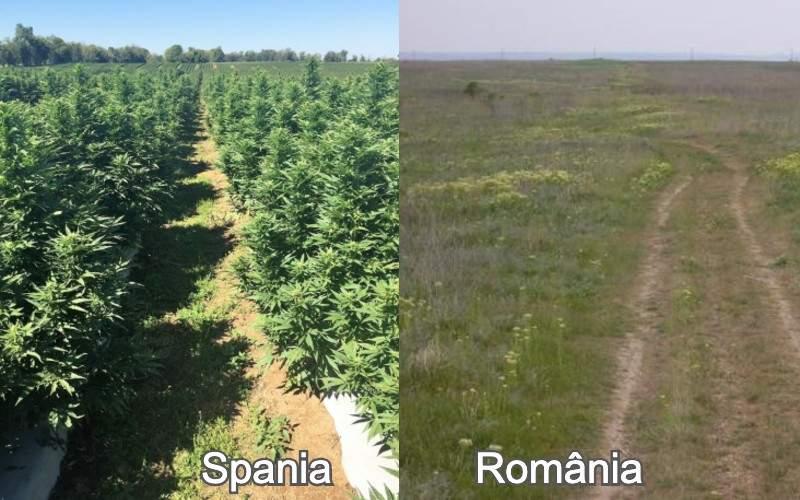 Ruşinos. Importăm marijuana din Spania, deşi la noi hectarele zac nelucrate