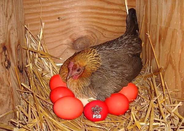 Miracol într-o comună teleormăneană. Un sătean a dat găinilor făină de la PSD şi au făcut direct ouă roșii