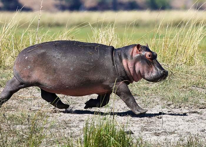 Auzind că nu mai avem porci şi ne gândim ce o să mâncăm de Crăciun, hipopotamul de la Zoo Băneasa a fugit