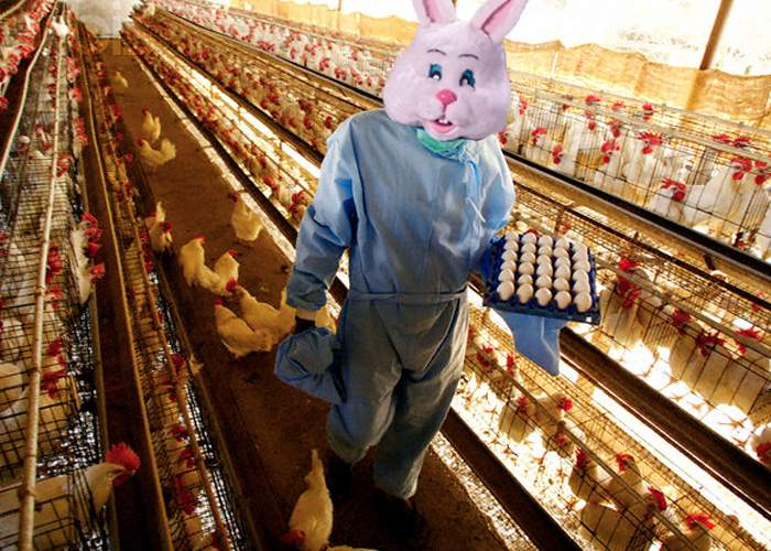 Iepuraşul de Paşte, prins la furat de ouă la Avicola Crevedia