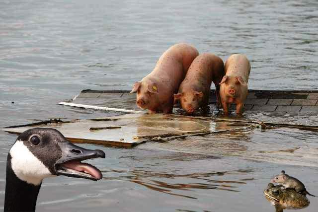 Animalele ţării îşi pierd casele din cauza inundaţiilor