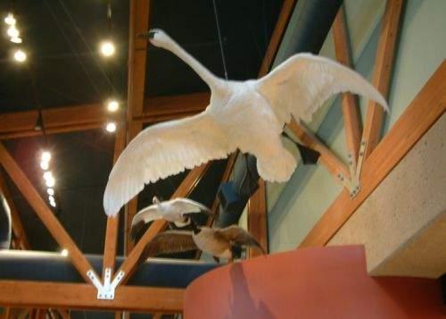 Doi români au furat o lebădă împăiată de la Muzeul de Istorie Naturală din Viena
