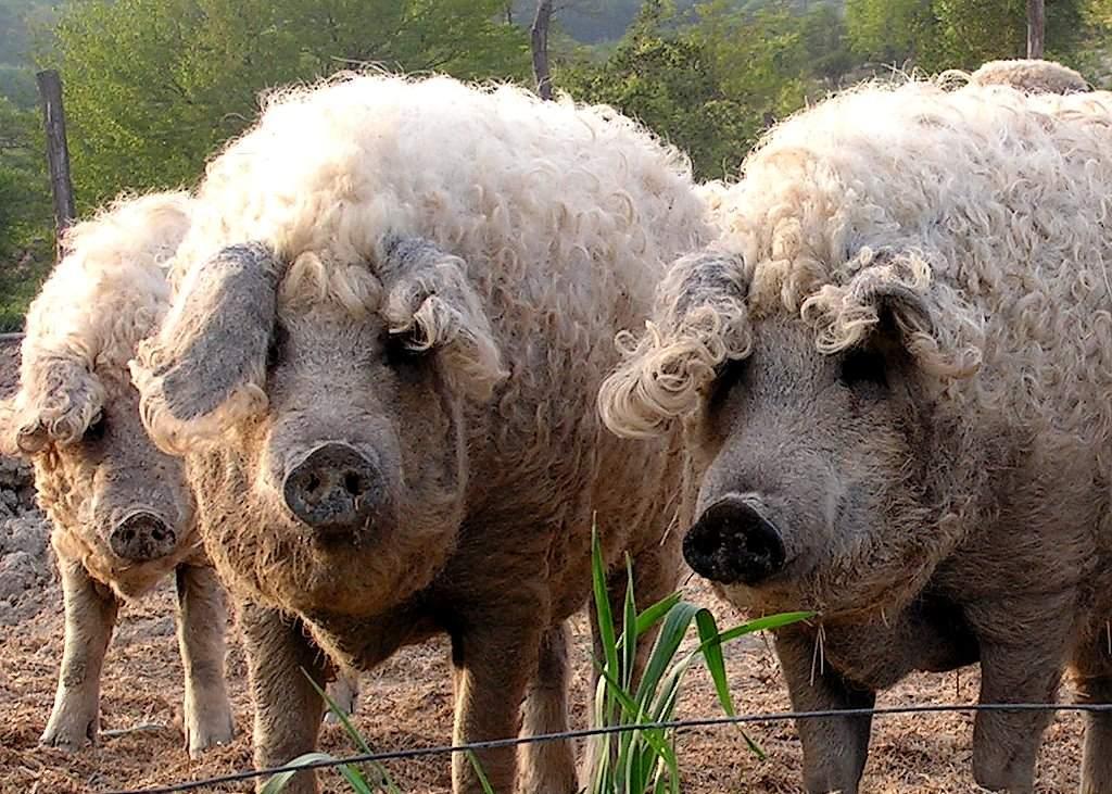 Planul Daea! Cea mai mare fermă de porci din România a cumpărat lână şi aracet, iar acum are 140.000 de oi