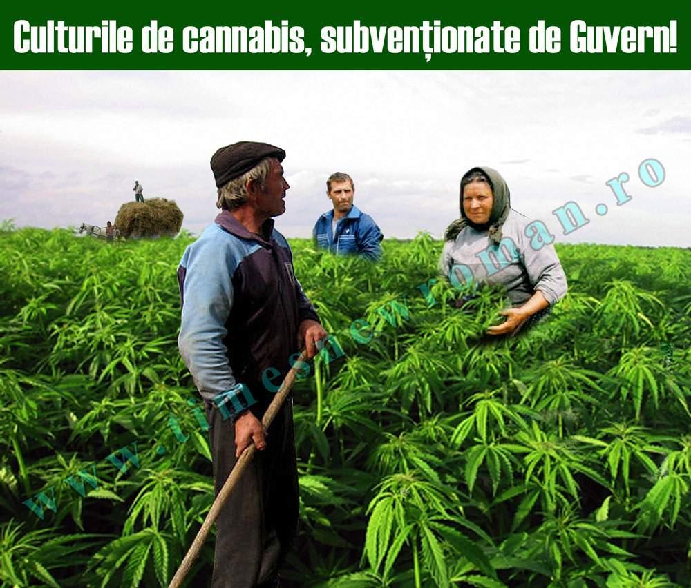 Culturile de cannabis sunt încurajate de Guvernul României