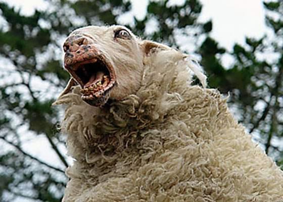 Un cioban a dat oilor steroizi şi acum nu mai are nevoie de câini
