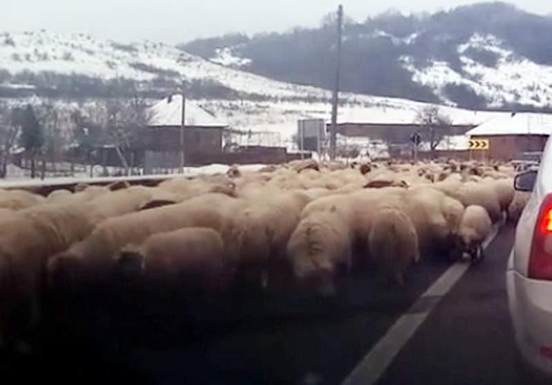 O şosea din Sălaj a dispărut cu totul după ce oile au lins sarea presărată de drumari