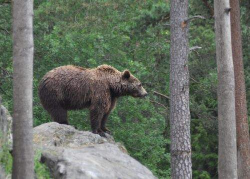 Un pădurar din Călăraşi a fost abuzat sexual de un urs brun