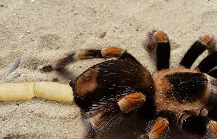Geneticienii români au creat în laborator primul păianjen care ţese pufuleţi