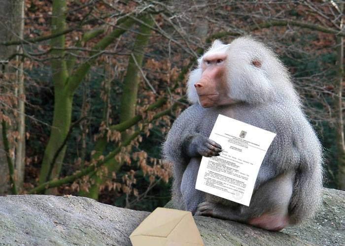 """Pavianul Bobo de la Zoo Băneasa, mulțumit de amenda luată de CTP: """"Viorica Dăncilă e mă-ta"""""""