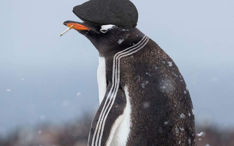 A fost descoperit un pinguin cu trei dungi care schimbă valută la Polul Sud