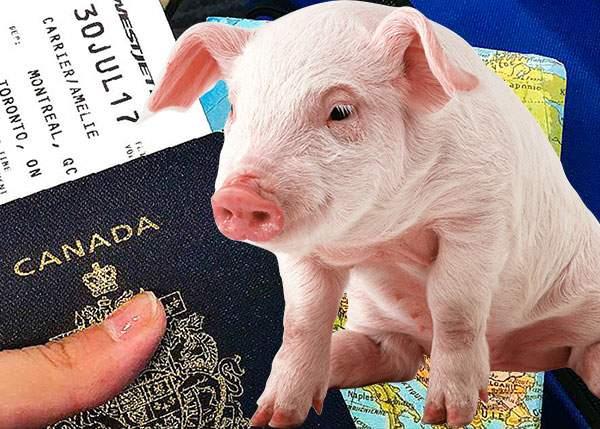 Cât ghinion! Unui român i-a emigrat porcul în Canada și n-are ce tăia de Crăciun