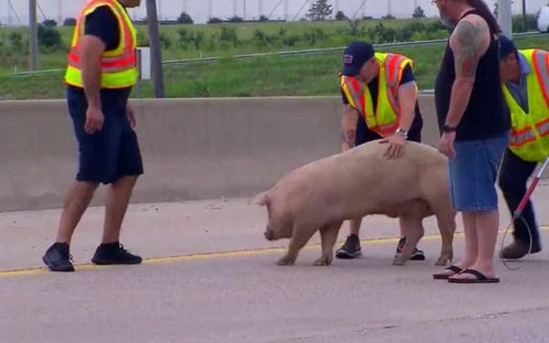 Pestă porcină în Bulgaria! Ce amenzi rişti dacă scapi porcul din maşină în drum spre Grecia