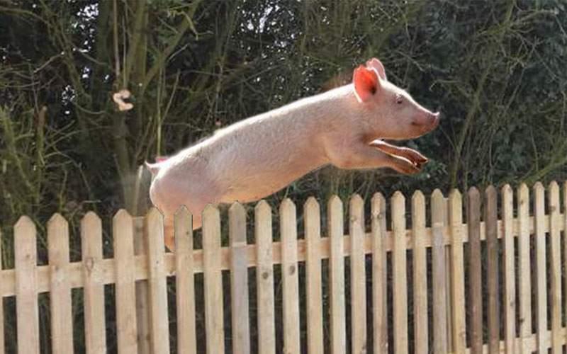 Atenţie la porcii dresaţi! Îi cumperi din târg şi ei se întorc la stăpân!
