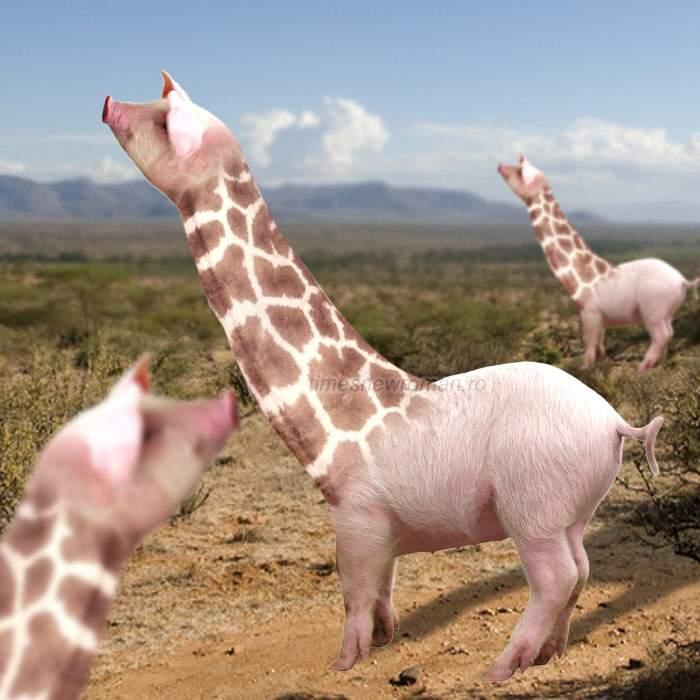 Veşti bune! Cercetătorii au încrucişat porcul cu girafa, obţinând un porc cu 2 metri de ceafă