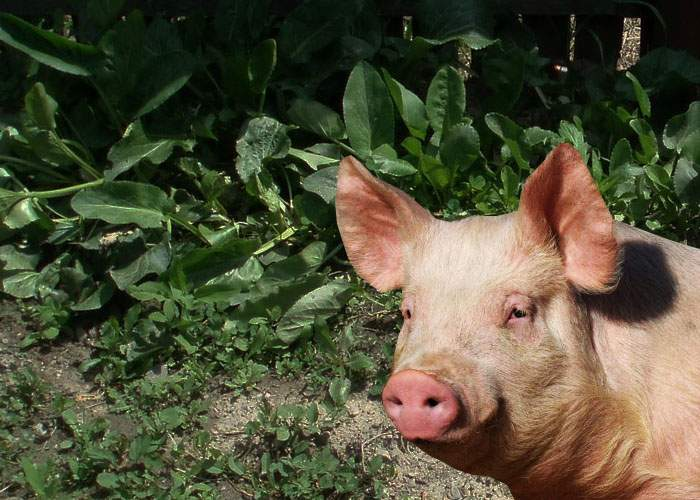 Ceafa de post, doar un vis? Caracalenii încearcă de ani de zile să încrucişeze porcul cu ştevia