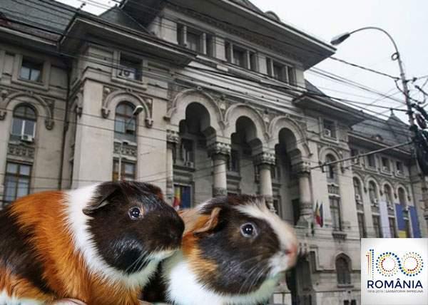 Gabi Firea va da cu vopsea prin București, pentru ca şobolanii să pară porcuşori de Guineea