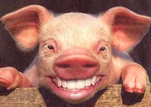Iubitorii de animale: Porcii n-ar mai trebui omorâţi, ci doar sterilizaţi