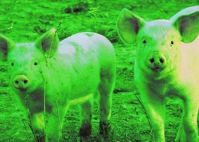 Radiaţiile nu sunt neapărat ceva rău! În Cernavodă porcii nu au păr şi sunt mai uşor de pârlit
