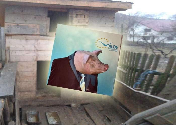 Ghinion! Un ţăran va face foamea iarna asta după ce porcul lui a fost ales deputat pe lista ALDE