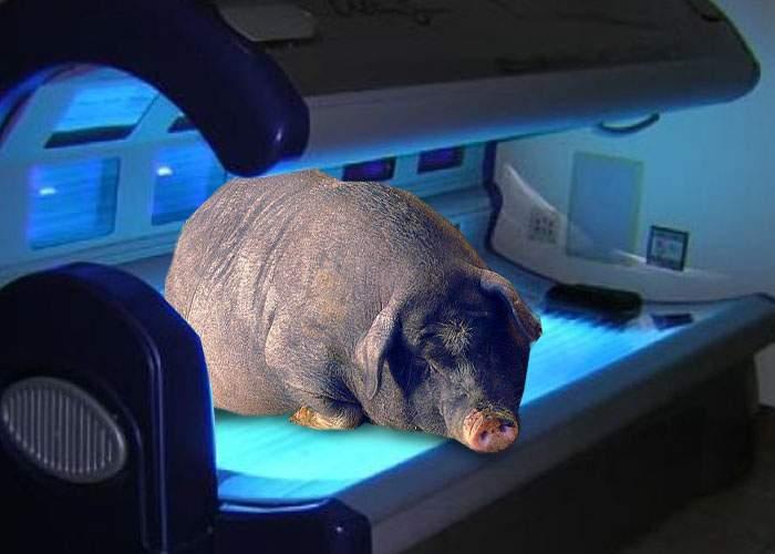 Ultima fiţă! Şmecherii de Dorobanţi pârlesc porcul la solar