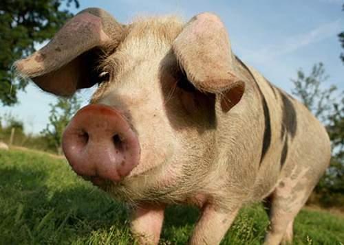 10 tradiţii româneşti de tăierea porcului