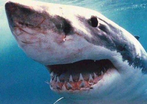 Al Qaeda oferă recompensă pentru prinderea rechinului care l-a mâncat pe bin Laden