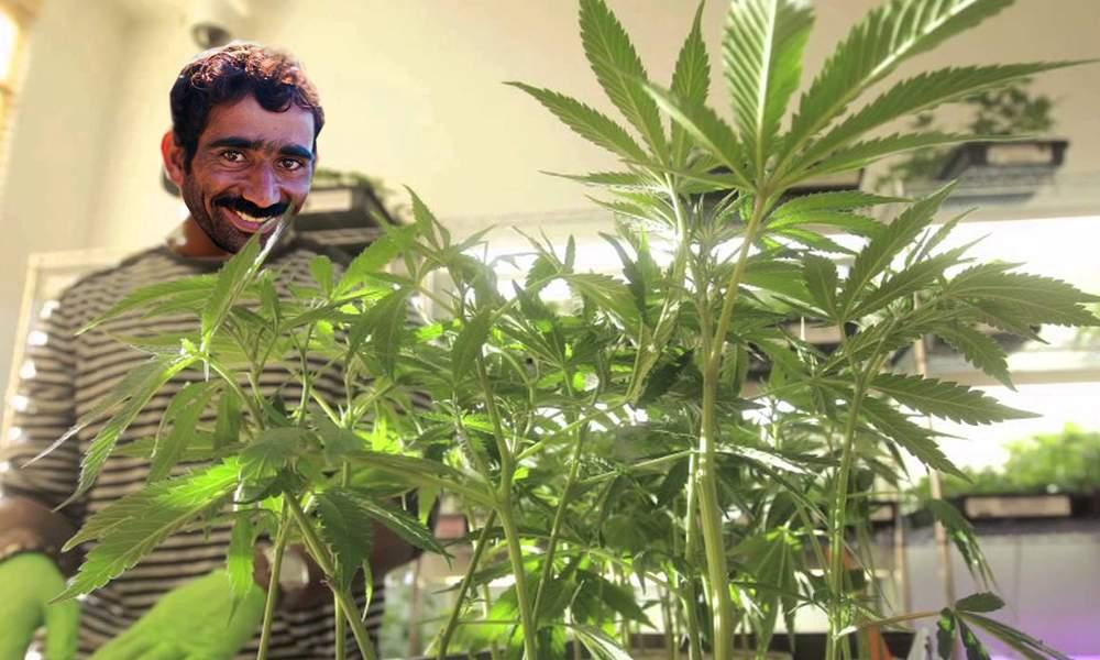 Se poate! Un român a plantat o marijuana și lucrează de acasă în agricultură