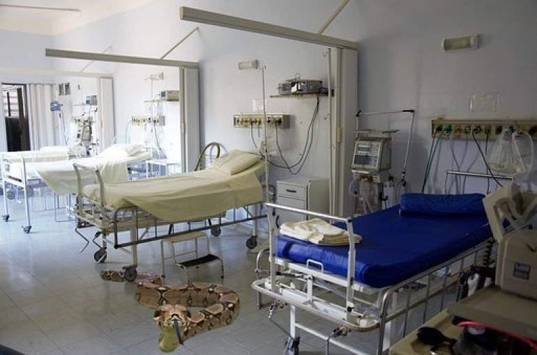 Pentru că pisicile nu făceau față șobolanilor, într-un spital s-au adus șerpi boa