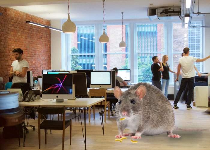 Un şoarece care locuieşte într-o corporaţie şi mănâncă firimiturile de pufuleţi de pe jos a atins 200 kg