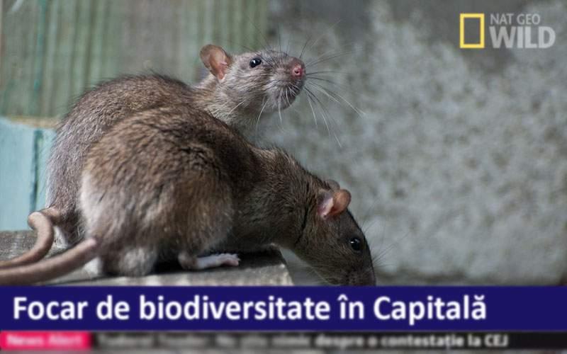 Campioni la biodiversitate. În centrul Capitalei trăiesc 500 de specii de şobolani