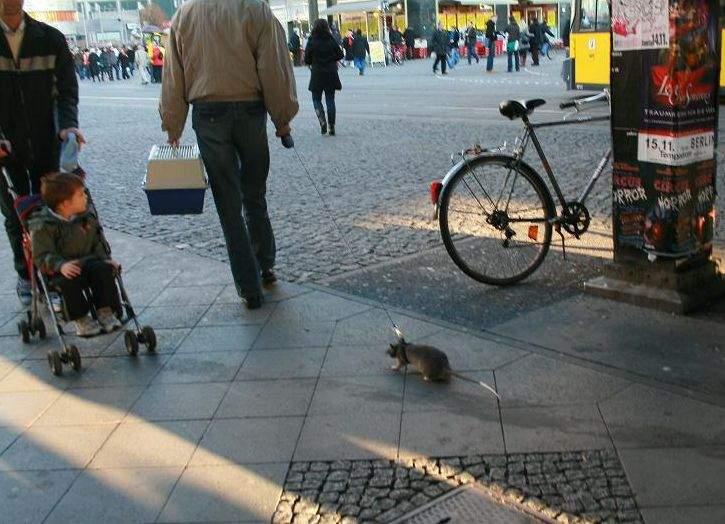 Iubiţi şi şobolanii vagabonzi