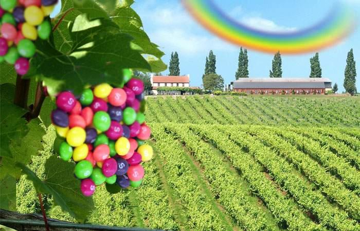 Ingenios! Un român a combinat via cu diverse fructe și a obținut o recoltă record de Skittles