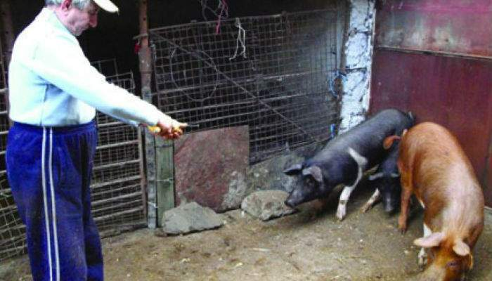 Un român n-are cu ce să pârlească porcul, după ce fiul lui vegan i-a mâncat toate paiele
