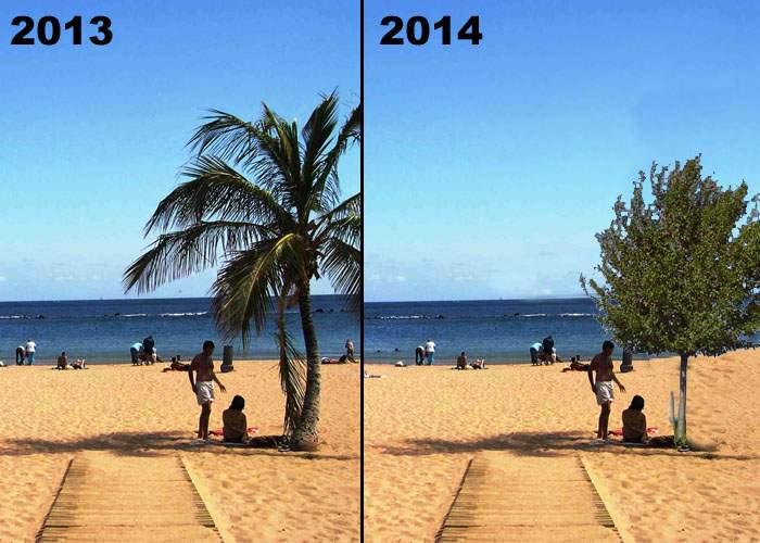 Primarul din Tenerife, nevoit să planteze corcoduşi după ce Timişoara a cumpărat toţi palmierii