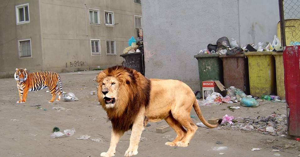 Nuțu Cămătaru a eliberat un tigru și-un leu prin Capitală, ca să prindă maimuța evadată azi